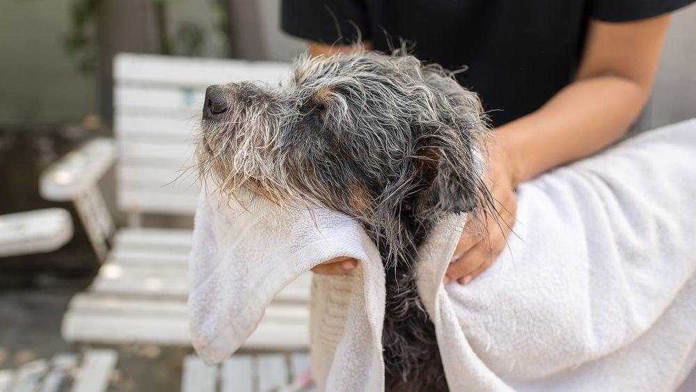 Pes počas sušenia srsti uterákom
